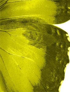 Papillons Aile jaune